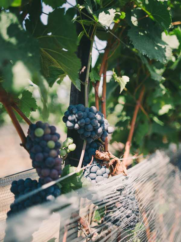 Norman Hardie's thriving grape vines