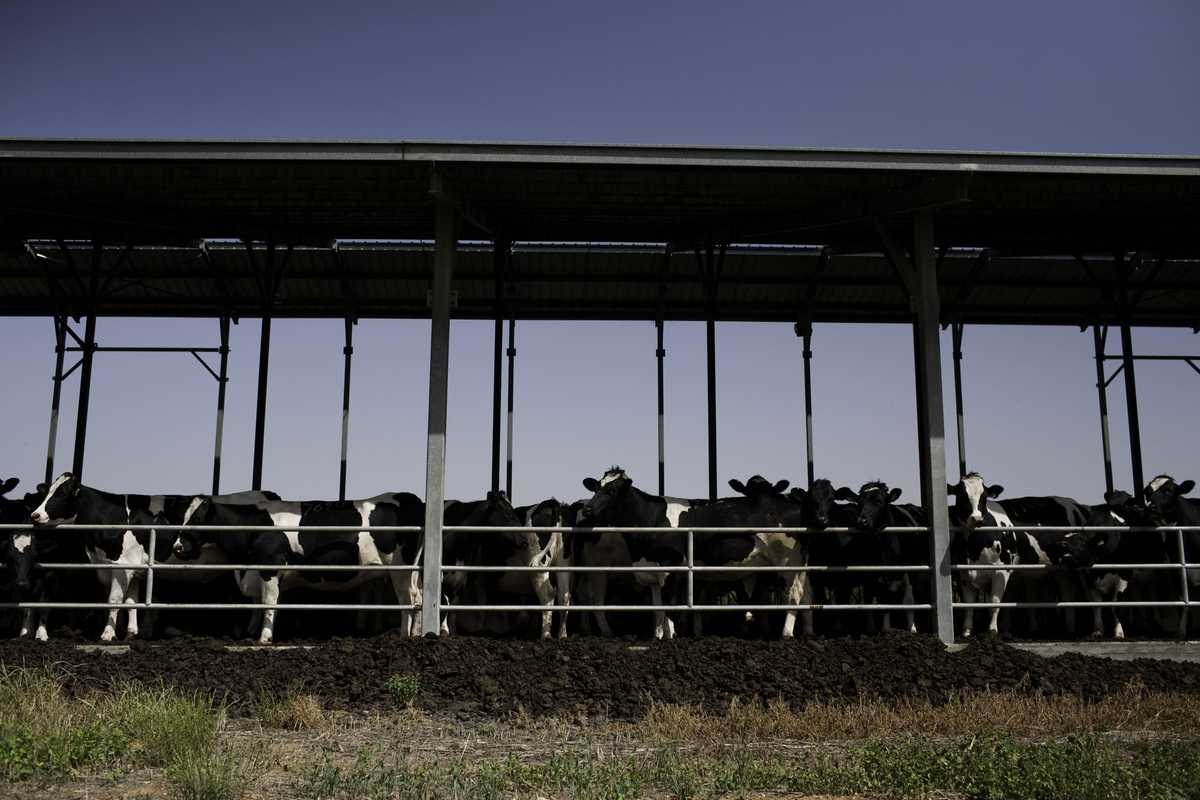 Cattle farm at Maabarot kibbutz, which is  located in the Sharon Plain