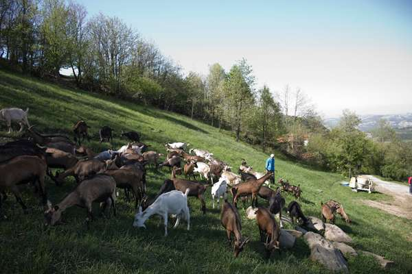 Goats graze at Daniela and Giovanni's farm in Roccaverano, Italy