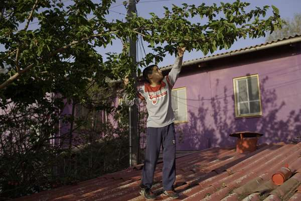 Child stands on his school roof to pick berries from a tree at Ma'agan Michael