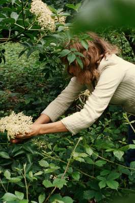 Lisa Smallpiece plucks fragrant elderflowers