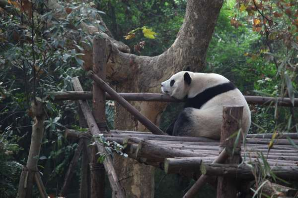 A giant panda, Chengdu's mascot, at the popular Panda Base on the edge of the city