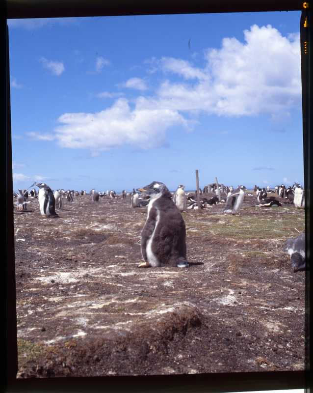 Young gentoo penguin in its rookery