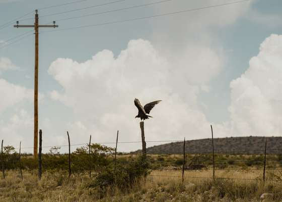Texan turkey vulture taking flight