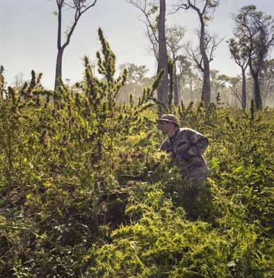 Identifying clandestine marijuana plantations
