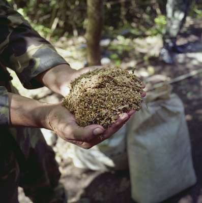 Harvested cannabis discovered in makeshift camp