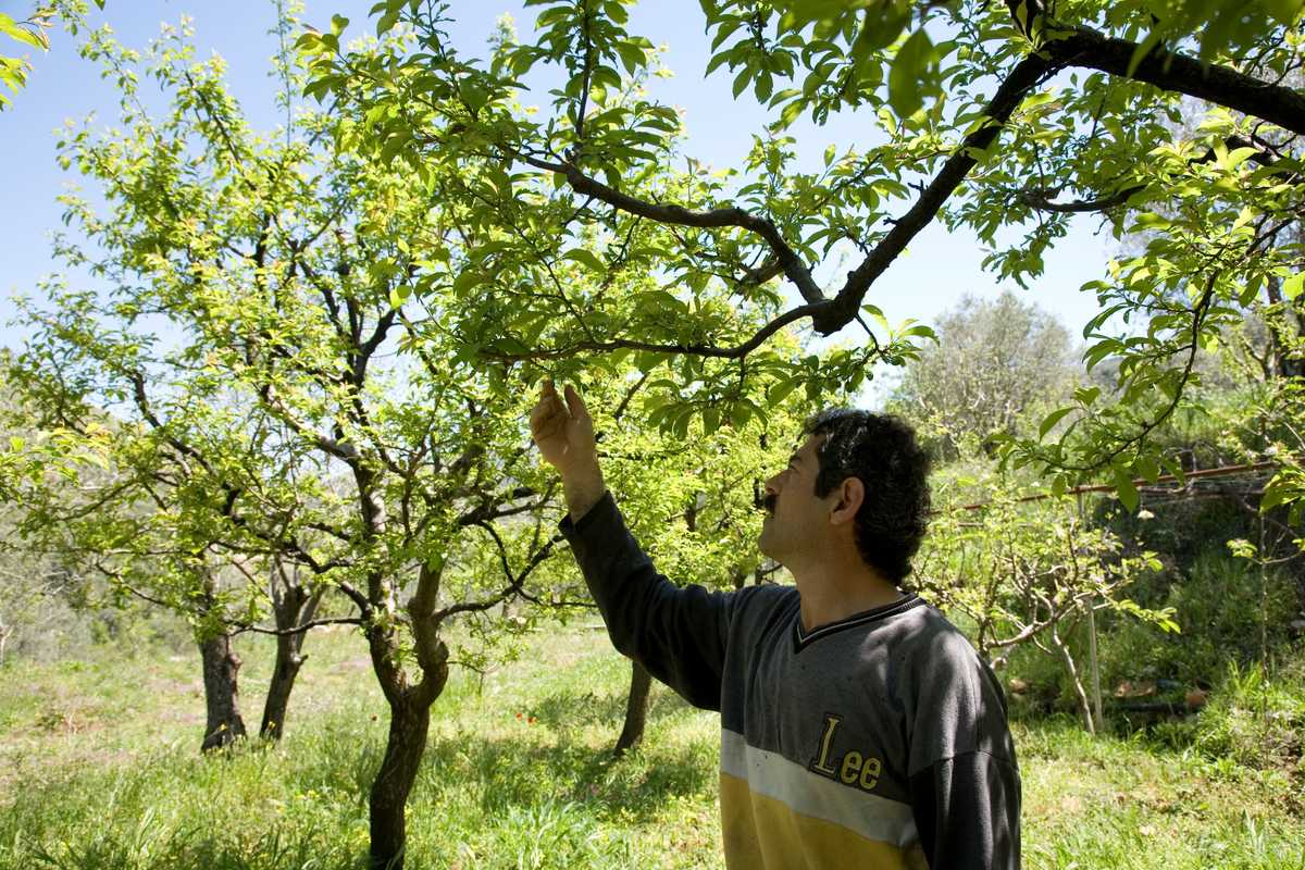 Massoud inspects fruit trees in his orchard in Rmeileh