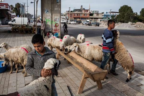 Sheep for sale in Adana
