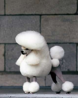 A smash poodle bred by Toshinori Omura