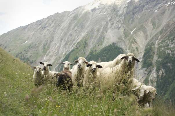 Rosset sheep