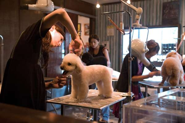 In the salon toypoos (toy poodles) are groomed to perfection