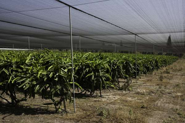 Plantation of dragon fruit in the Maabarot farm