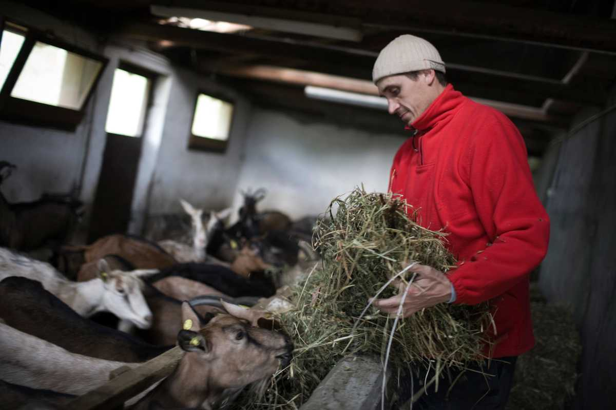 Solerio gives hay to the goats in the stalls
