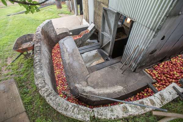 Apples are washed in a water-filled conveyer that snakes around the mill house