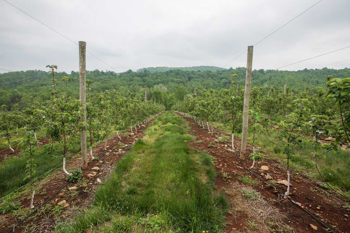 Orchard near the distillery where apples are harvested in early September, at the peak of their sweetness