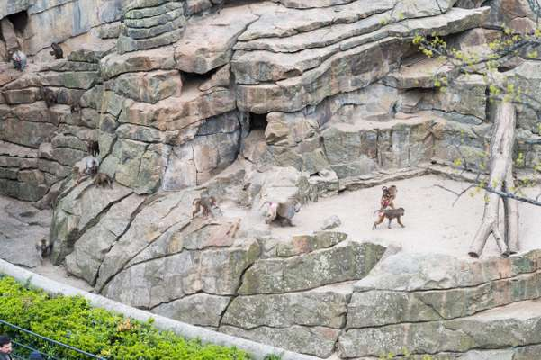 Baboons in the neighbouring zoo, viewed from the Bikini terrace