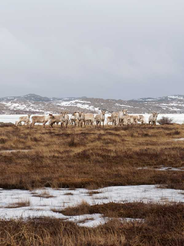 A herd of about 350 caribou roam the island too