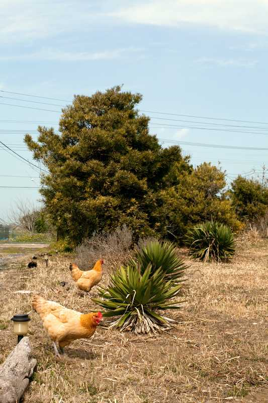 Helpful pets: Ito keeps a breed of chicken called nagoya, which lay eggs every day