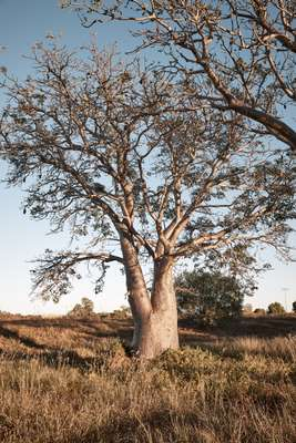 Boab trees are ubiquitous in Broome