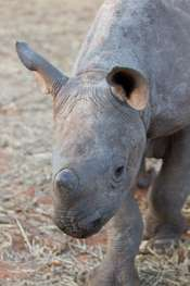 Horns of a black rhinoceros can fetch more than €82,500 on the black market