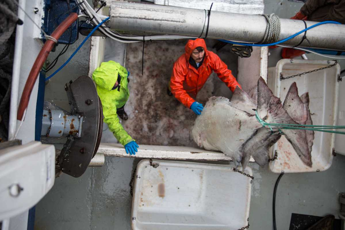 Offloading halibut from the 