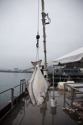 Fresh halibut landed dockside at Taku Fisheries
