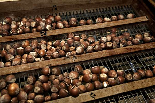 Hazel nuts ready for processing