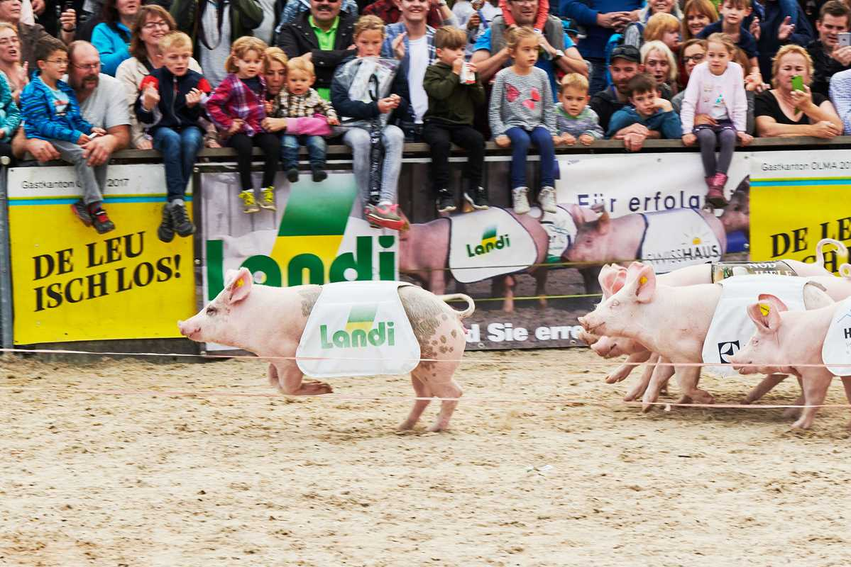 First pig past the post: this race is the highlight of the Olma fair