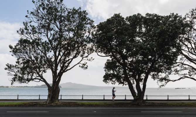 Native pohutukawa trees on Tamaki Drive