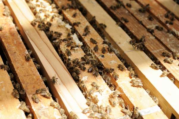Bees are part of Kajima's biodiversity action plan