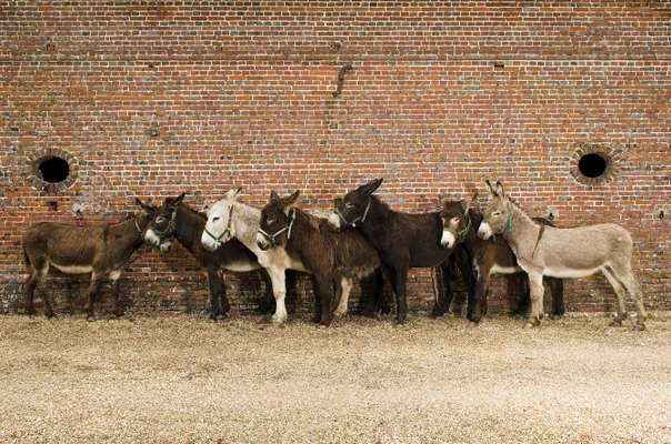 No. 12: Seven donkeys in western France
